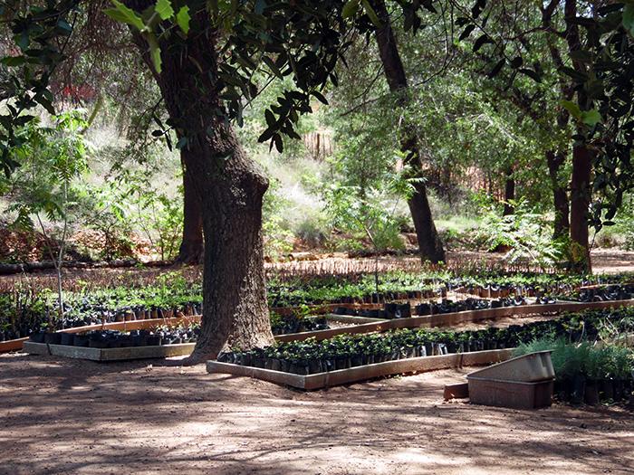 Arboles frutales y de sombra se pueden adquirir en el for Viveros de arboles frutales en chihuahua